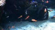 Stock Video Footage of Underwater Ocean Tropical Reef 02 Clownfish, Anemone