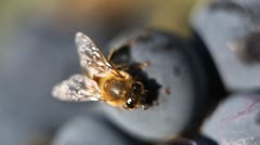 Macro, Beautiful Bee Eating Purple Sweet Grapes, Autumn, Close Up, Hive, Beehive Stock Footage