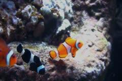 Stock Video Footage of Underwater Ocean Tropical Reef 04 Clownfish, Anemone