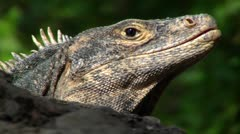 Iguana very close Stock Footage