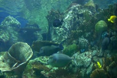 Stock Video Footage of Underwater Ocean Tropical Reef 05 Bluespine Unicornfish