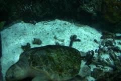 Underwater Ocean Tropical Reef 11 Olive Ridley Sea Turtle - stock footage