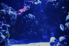 Stock Video Footage of Underwater Ocean Tropical Reef 13 Sergeant Tang Fish