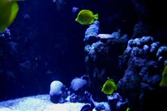 Stock Video Footage of Underwater Ocean Tropical Reef 14 Yellow Tang Fish