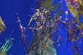 Underwater Ocean Tropical Reef 31 Weedy Seadragon Footage