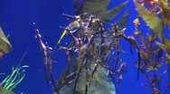 Stock Video Footage of Underwater Ocean Tropical Reef 31 Weedy Seadragon