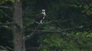 Osprey Stock Footage