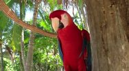 Stock Video Footage of Red parrot 2
