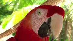 Red parrot close Stock Footage