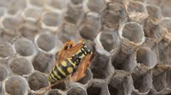 Macro Hornet (Vespa Crabo, European Hornets) working on Nest, Grape, Grass Stock Footage