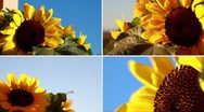 Stock Video Footage of Sunflowers composition