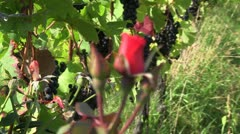 grapes and roses 01 - stock footage