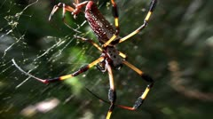 A large golden web spider with it's young. Stock Footage