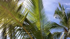 Coconut Palm Tree 02 leaves - stock footage
