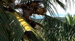 Coconut Palm Tree 05 closeup - stock footage