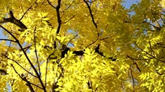 Autumn Tree Stock Footage
