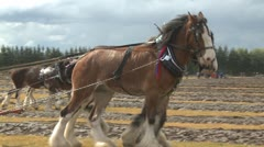 Clydesdale horse team plowing a field in competition Stock Footage