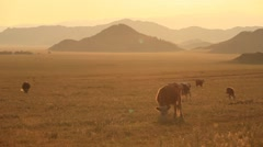 Cows graze in the morning - stock footage