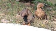 Common ducks (mallards) resting on the shore / Anas platyrhynchos Stock Footage