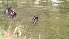 Several males and females  of wood duck and carolina duck in water Stock Footage