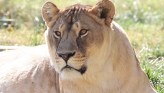 An old lioness resting in grass close-up Stock Footage