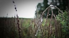 Yellow Spider Argiope frelon bruennichi in Nature - Final Stock Footage