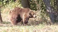 Brown bear walking on grass nearby forest /Ursus arctos Stock Footage