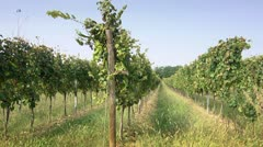 Farmer inspecting vineyard for wine production in Franciacorta, Italy Stock Footage