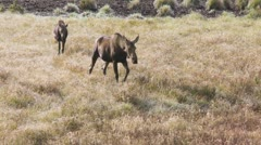 Moose and calf 02 Stock Footage