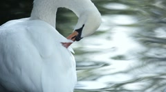 Swan on Lake Stock Footage