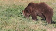 Brown bear eating grass nearby forest  / Ursus arctos Stock Footage