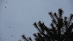 Stock Video Footage of Fall sparse snowflakes on background pine branch and flight flock crow on the