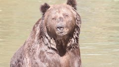 Brown bear resting in water  / Ursus arctos Stock Footage