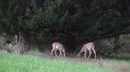 White tail deer 2 Stock Footage