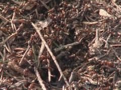 Lots of ants hard working on building anthill of conifer needles Stock Footage