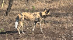 Wild dog Stock Footage