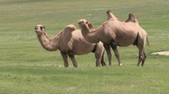Mongolia: Camels On the Steppes Stock Footage
