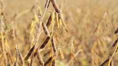 Fall Soybean Field - dolly shot Stock Footage
