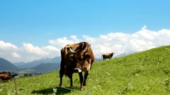 Cow on grazing land Stock Footage