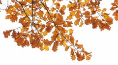Branch of an oak with yellow autumn leaves Stock Footage