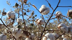 Picking Plump Cotton Plants Stock Footage