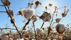 Cotton Plant Pests Stock Footage