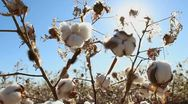 Stock Video Footage of Cotton Plant Pests