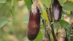 Stock Video Footage of Eggplant, Vegetables BIO Farm, Ecological Farmer, Organic Horticulture