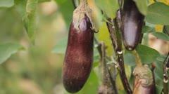 Eggplant, Vegetables BIO Farm, Ecological Farmer, Organic Horticulture - stock footage