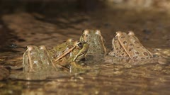 Four Leopard Frogs Stock Footage