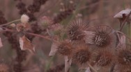 Stock Video Footage of Thistle