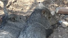 Javelina Snout Stock Footage