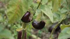Eggplant, Vegetables BIO Farm, Ecological Farmer, Organic Horticulture Stock Footage