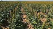Stock Video Footage of Sorghum Farm Rows